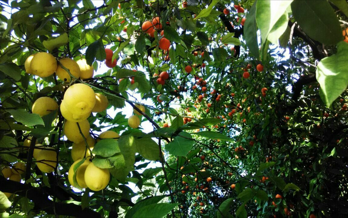 Alc zar vegetal limonero citrus x lim n real alc zar for Limonero sin limones